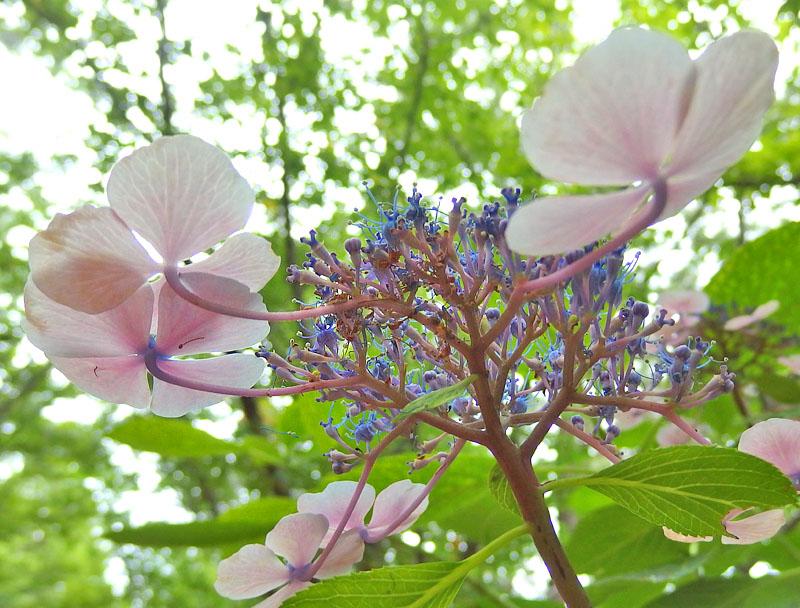 170701,八景島紫陽花11