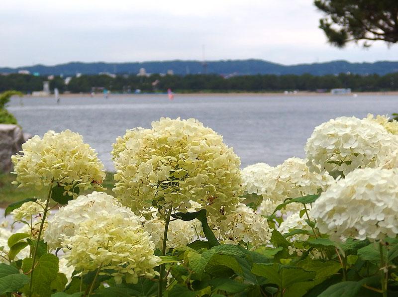 170701,八景島紫陽花12
