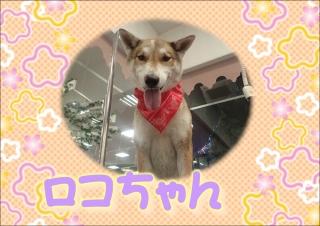 ロコちゃん519r
