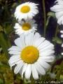 2017年の春の花4