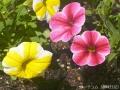 2017年の春の花8