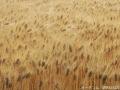 2017麦畑1