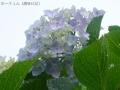 2017雨の中の紫陽花1