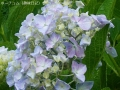 2017雨の中の紫陽花2