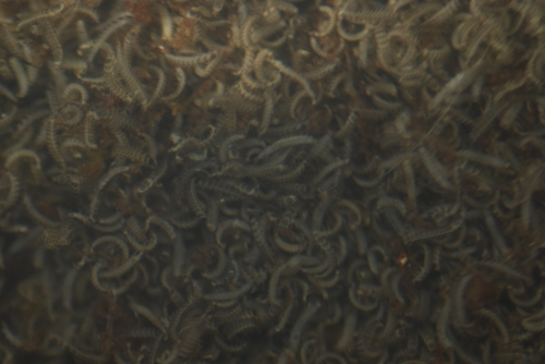 2017ゲンジ孵化幼虫