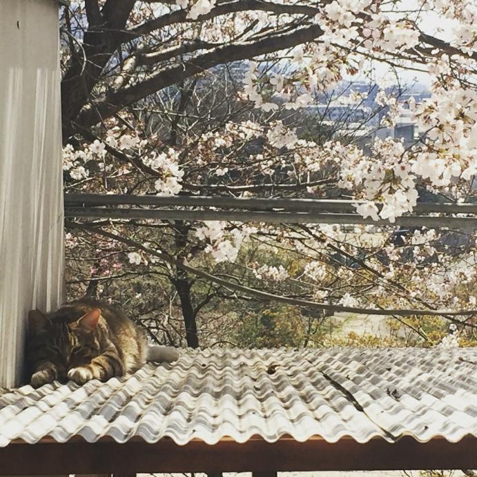 ジュニアと桜