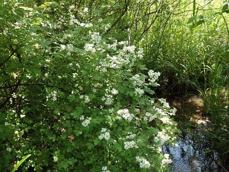 「ノイバラ ~芳香ある白い5弁花」
