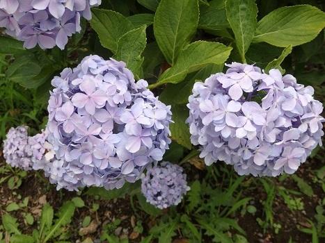 「アジサイの花探し/装飾花と通常花」