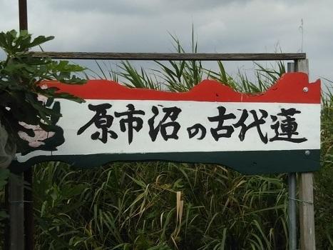 「『原市沼の古代蓮』下見編(2)」