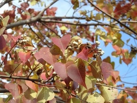 「ナンキンハゼの紅葉・果実」