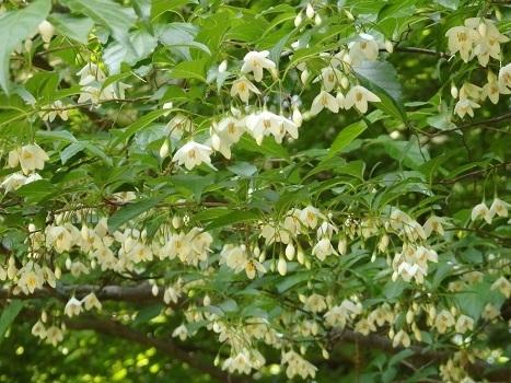 「5月の白い花:北本自然観察公園(1)」