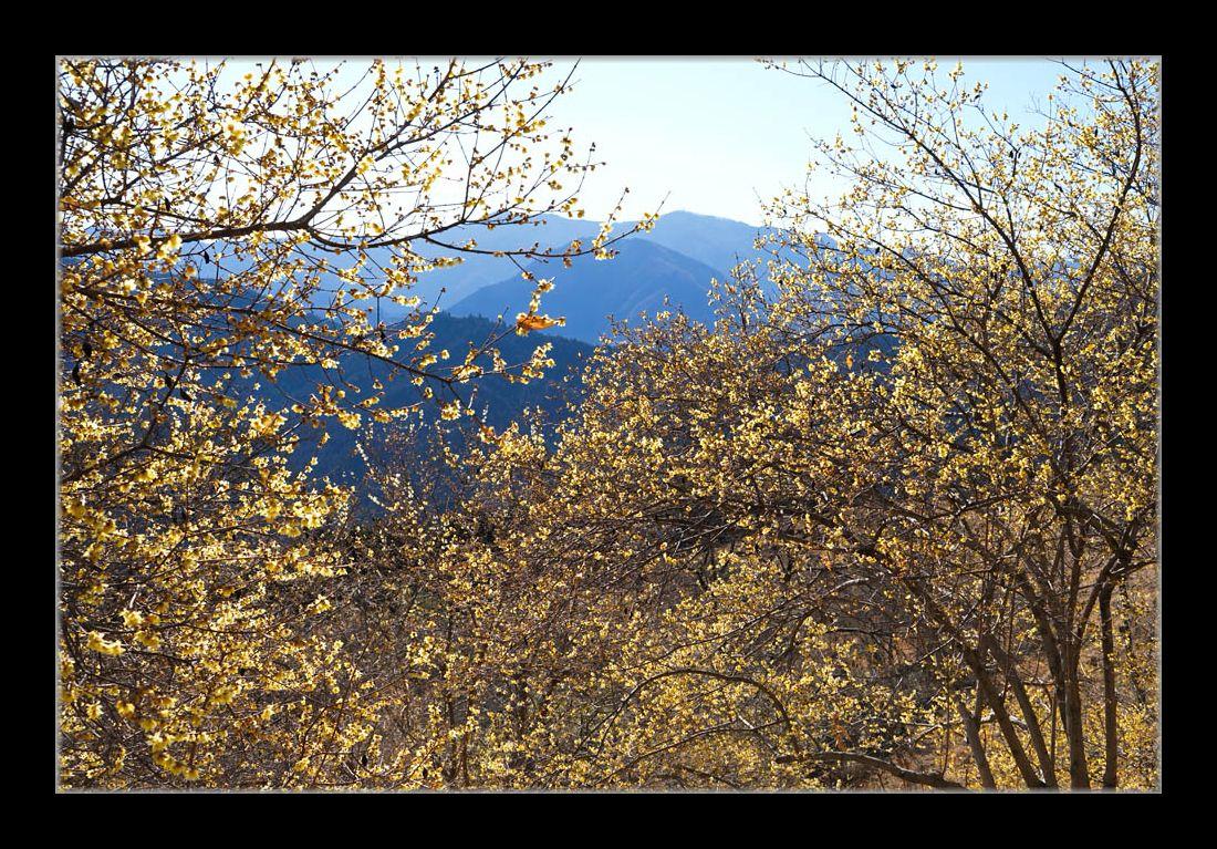 山並と蝋梅