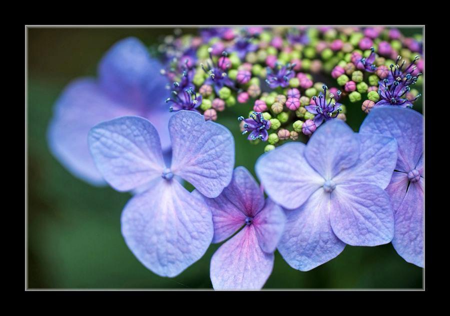 アップで額紫陽花