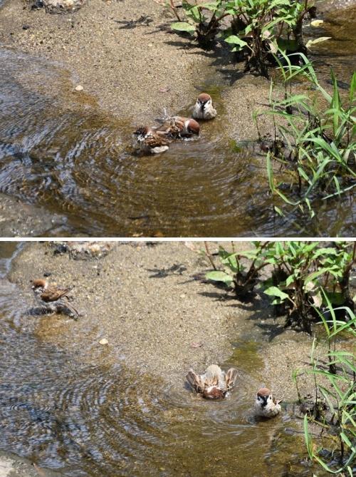 ①雀の水浴び