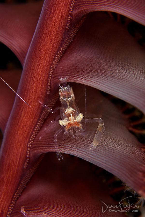 エボシカクレエビ属sp.