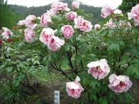 花と泉の公園2017-05-14牡丹園006