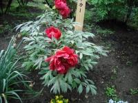 花と泉の公園2017-05-14牡丹園005