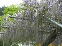 花と泉の公園2017-05-14牡丹園004
