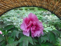 花と泉の公園2017-05-14牡丹園002