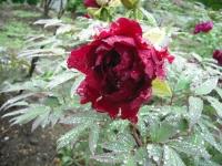 花と泉の公園2017-05-14牡丹園012
