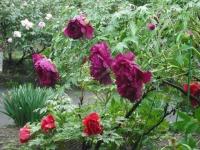 花と泉の公園2017-05-14牡丹園011