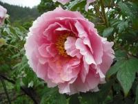 花と泉の公園2017-05-14牡丹園008