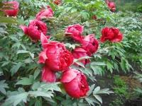 花と泉の公園2017-05-14牡丹園007