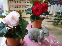 花と泉の公園2017-05-14ベゴニア館018