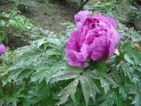 花と泉の公園2017-05-14牡丹園018