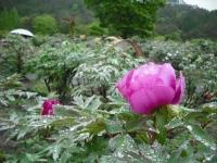 花と泉の公園2017-05-14牡丹園015