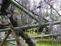 花と泉の公園2017-05-14牡丹園014
