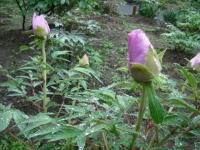 花と泉の公園2017-05-14牡丹園023