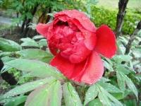 花と泉の公園2017-05-14牡丹園020