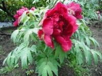 花と泉の公園2017-05-14牡丹園030