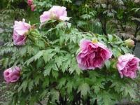 花と泉の公園2017-05-14牡丹園029