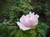 花と泉の公園2017-05-14牡丹園028