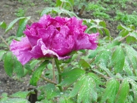 花と泉の公園2017-05-14牡丹園027
