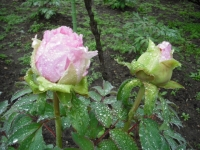 花と泉の公園2017-05-14牡丹園026