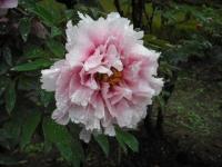 花と泉の公園2017-05-14牡丹園036