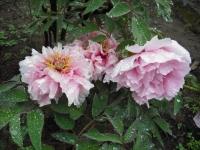 花と泉の公園2017-05-14牡丹園035