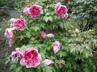 花と泉の公園2017-05-14牡丹園034