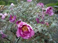 花と泉の公園2017-05-14牡丹園033