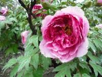 花と泉の公園2017-05-14牡丹園032