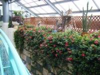 花と泉の公園2017-05-14ベゴニア館038