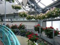 花と泉の公園2017-05-14ベゴニア館047