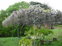 花と泉の公園2017-05-14牡丹園041