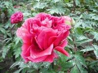 花と泉の公園2017-05-14牡丹園040
