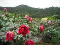 花と泉の公園2017-05-14牡丹園039