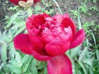 花と泉の公園2017-05-14牡丹園038