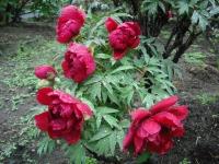 花と泉の公園2017-05-14牡丹園037